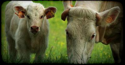 La viande de bœuf et de veau
